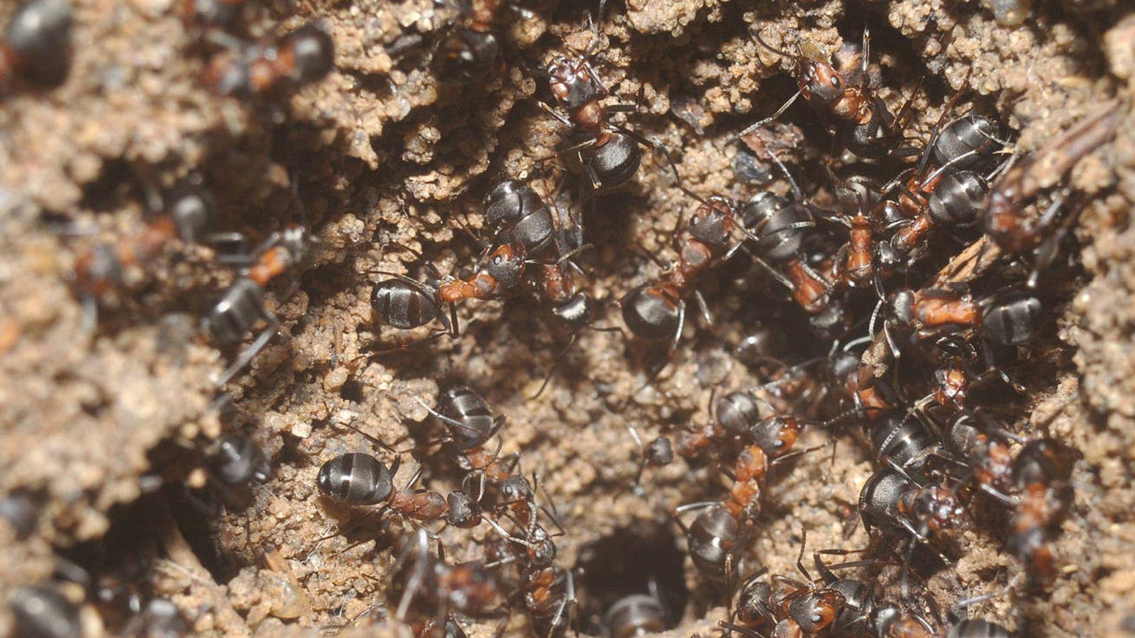 colonia de hormigas locas