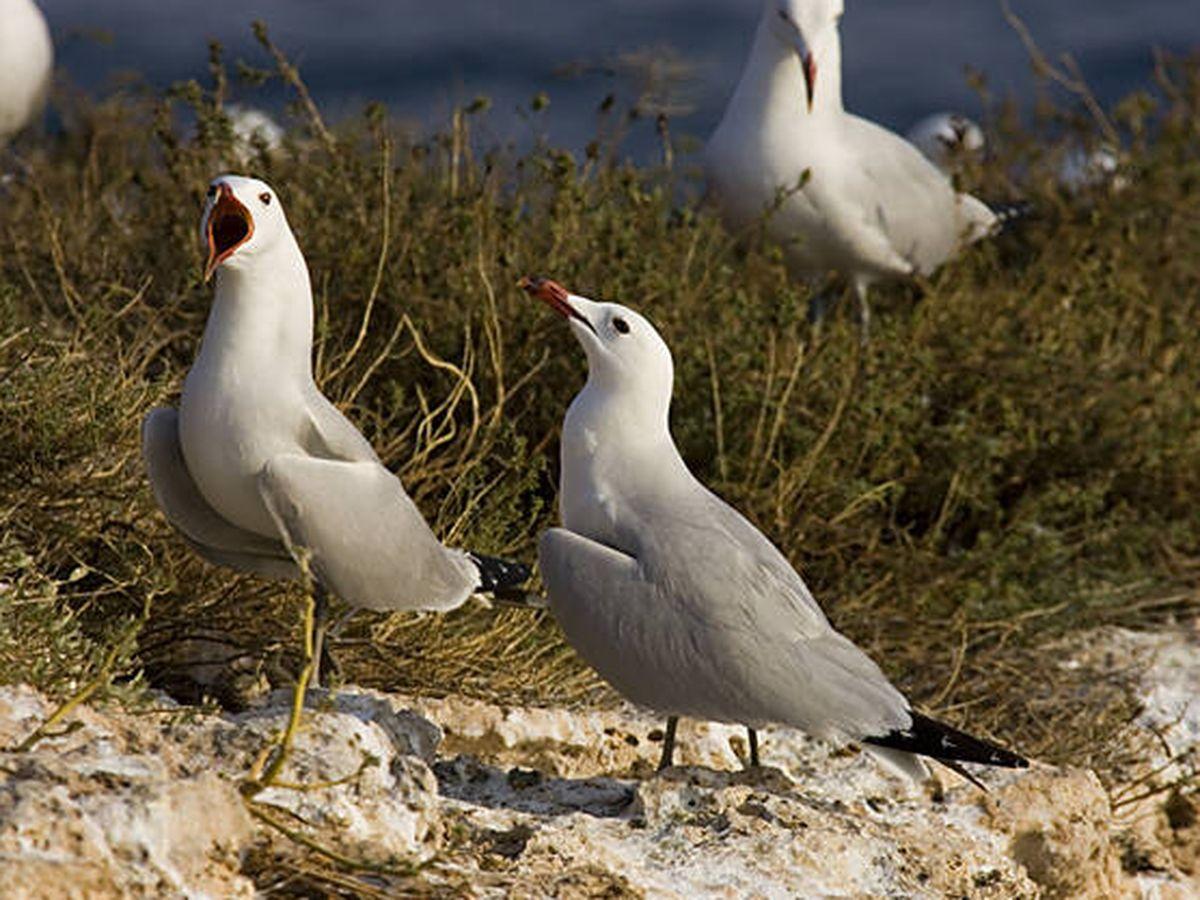 Foto: Gaviotas de Audouin. (SEO/Birdlife)