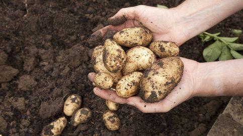Así entró la patata en España (y por qué nadie las quería comer)