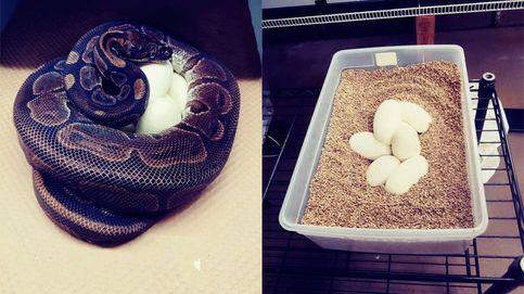 Una pitón pone 7 huevos a pesar de llevar 15 años sin acercarse a un macho