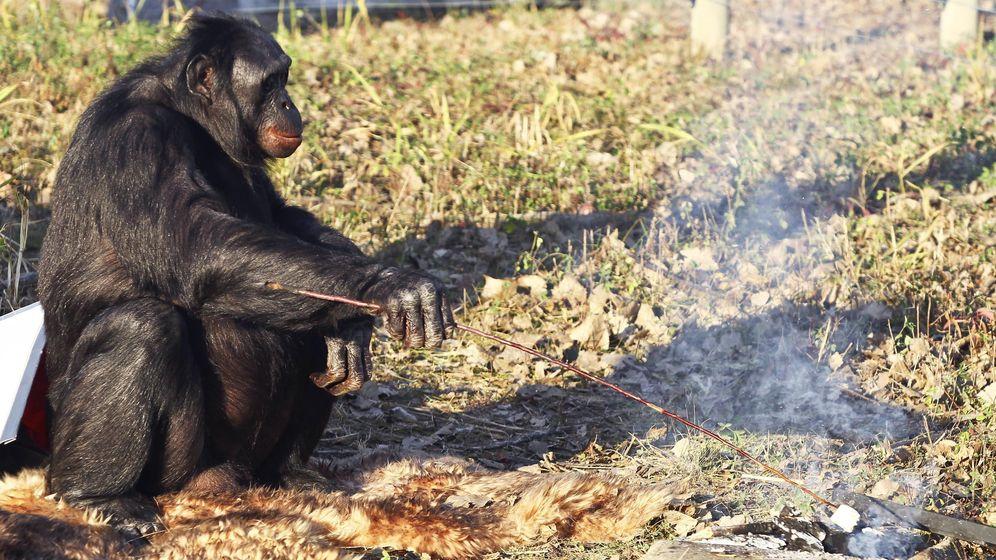 Foto: Un bonobo cocina malvaviscos frente a una hoguera