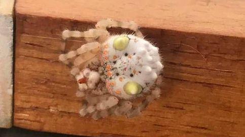Descubren una araña gigante en Australia que parece un trozo de sushi