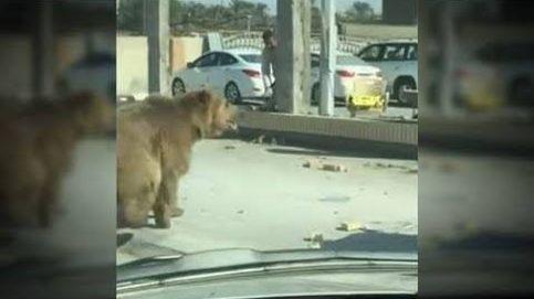 Pánico en Irak tras pasearse un oso por las calles de la segunda ciudad más grande del país