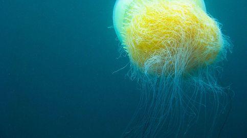 La medusa de Nomura, el gigante del mar con uno de los venenos más raros y letales