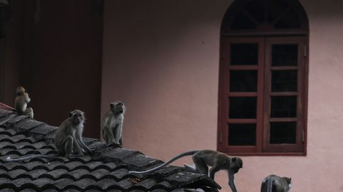 Contagio de malaria entre macacos en Malasia