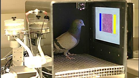 Las palomas distinguen tumores malignos a simple vista