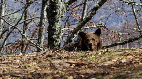 El oso pardo es el nuevo jabalí: las razones del ataque a una mujer en Asturias