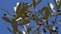 Agua de depuradora para regar a gran escala el olivar del Guadalquivir