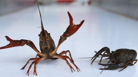 El nuevo 'ecoPSOE' rectifica y deja tirada a la comarca sevillana del cangrejo rojo