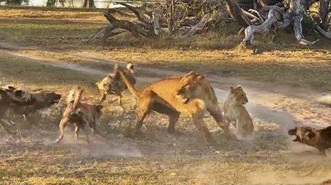 La leona que salvó a su cría de una manada de perros salvajes