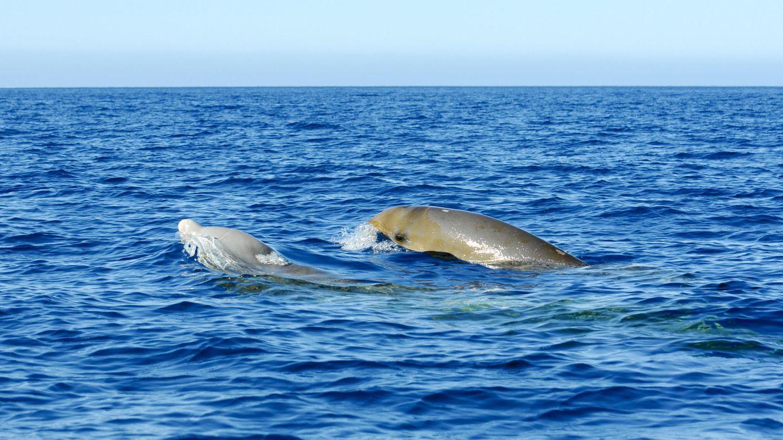 Casi cuatro horas: este es el nuevo récord de inmersión de un mamífero
