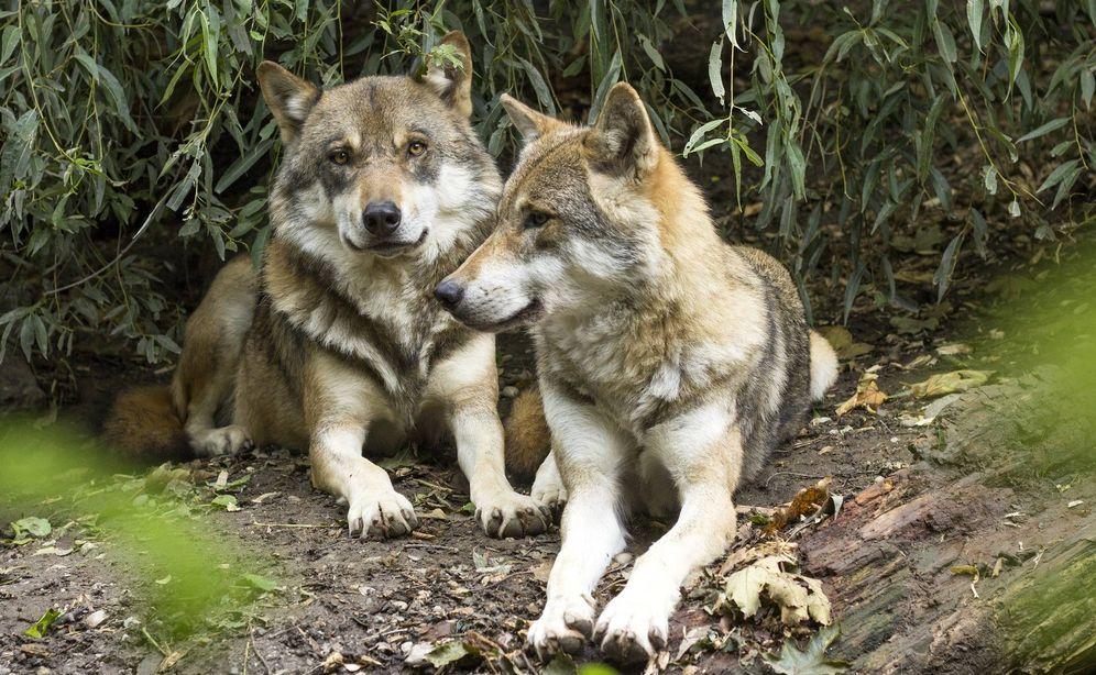 Foto: Una pareja de lobos avistadas en un parque natural. (Pixabay)