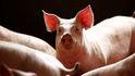El sector porcino, daño colateral del acuerdo comercial de EEUU-China