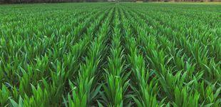 Post de Parece un simple campo de maíz, pero este vídeo te volará la cabeza