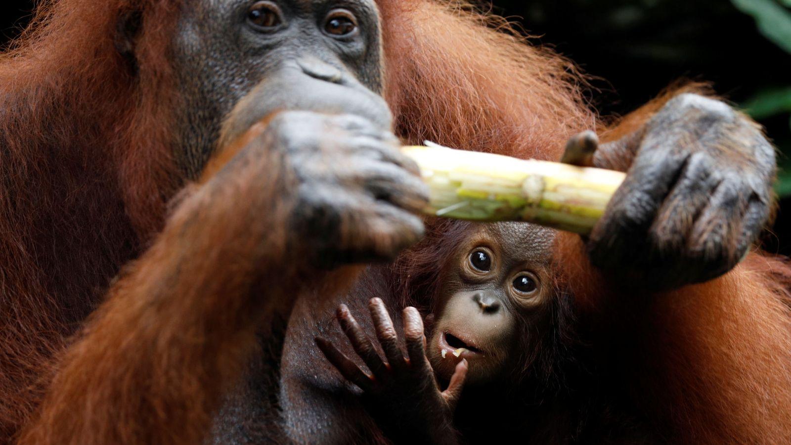 Foto: Khansa, un bebé orangutan en el zoo de Singapur (Edgar Su / Reuters)
