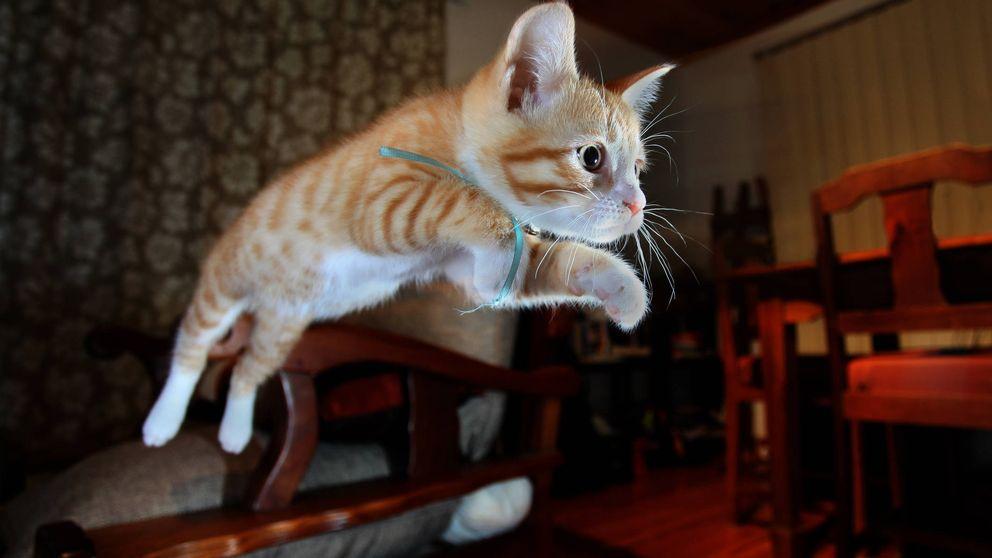 Por qué los gatos sobreviven a caídas desde sitios altos, pero no intermedios