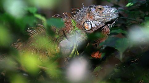 Los meteorólogos avisan de una posible lluvia de iguanas en Florida