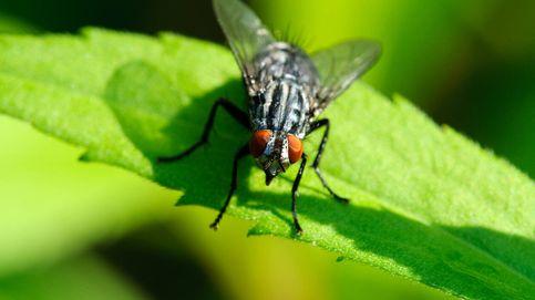 Alertan de una plaga de mosca negra tras la ola de calor: mordeduras en forma de sierra