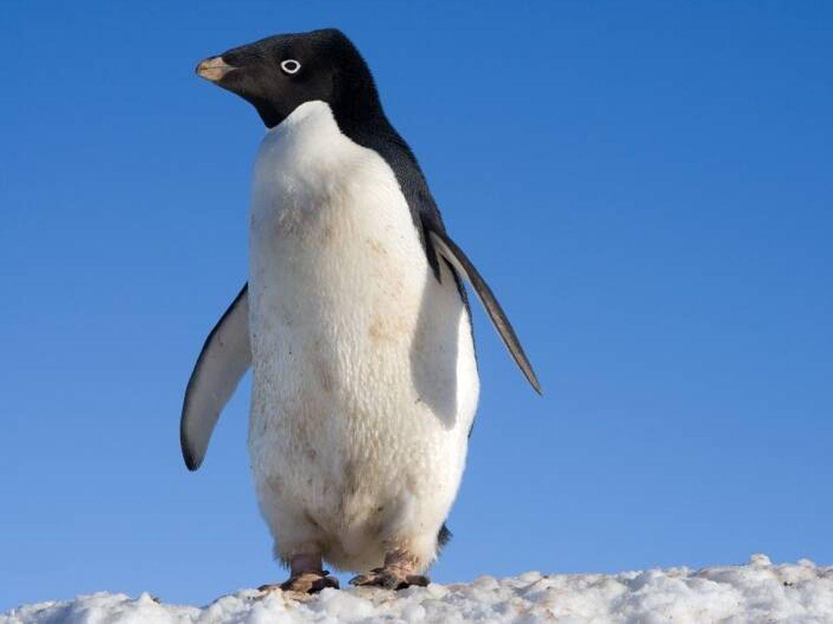 Foto: Pingüino Adelia, una de las especies afectadas.