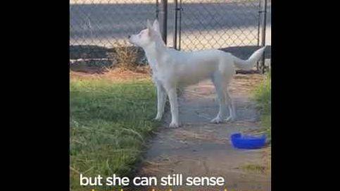 Esta perra es ciega y sorda... pero reconoce cuándo llega su dueño