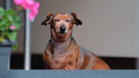 Encuentra a su perro salchicha robado hace meses a más de 200 kilómetros de su hogar