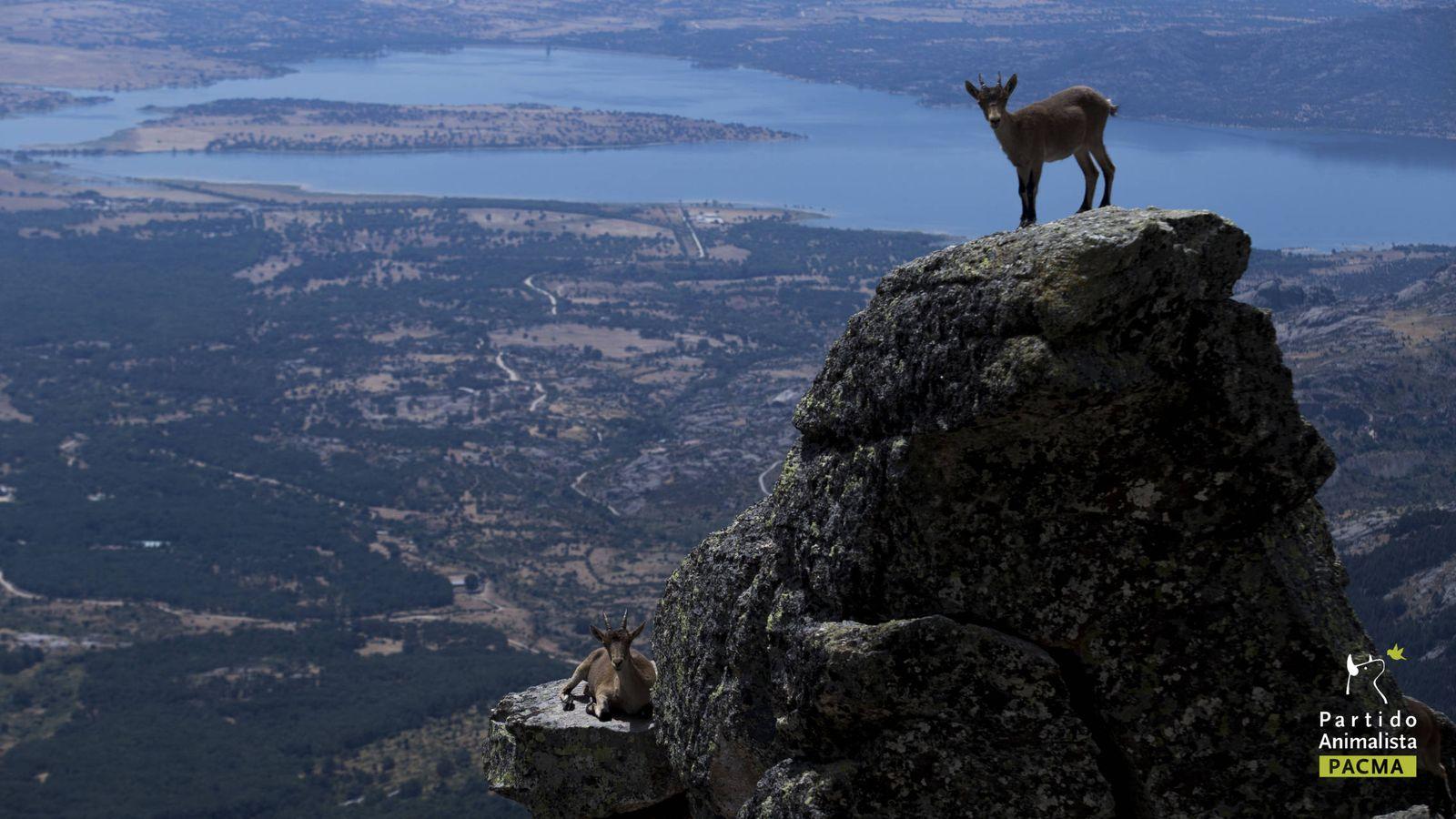 Foto: Cabras montesas en la sierra de Guadarrama.