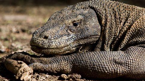 Komodo cerrará la isla a los turistas porque les están robando sus famosos dragones