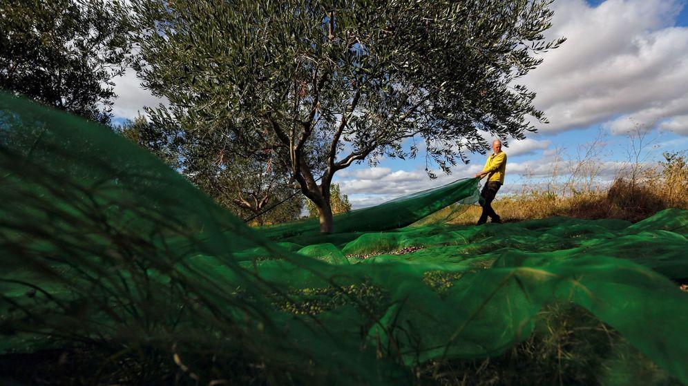 Foto: Un agricultor cosecha aceitunas. (EFE)