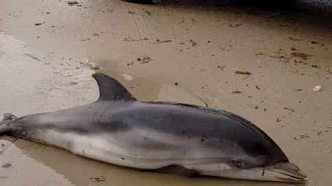 Aparecen siete delfines varados en la Comunidad Valenciana por el temporal
