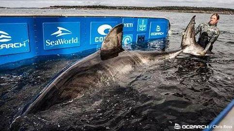 Hallan uno de los tiburones blancos hembras más grandes de la historia