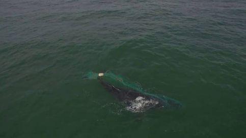 Salvan en México a una ballena jorobada atrapada en una red de pesca ilegal