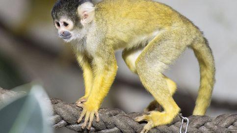 Intenta robar un mono ardilla, se pelea con él y termina cojo y en la cárcel