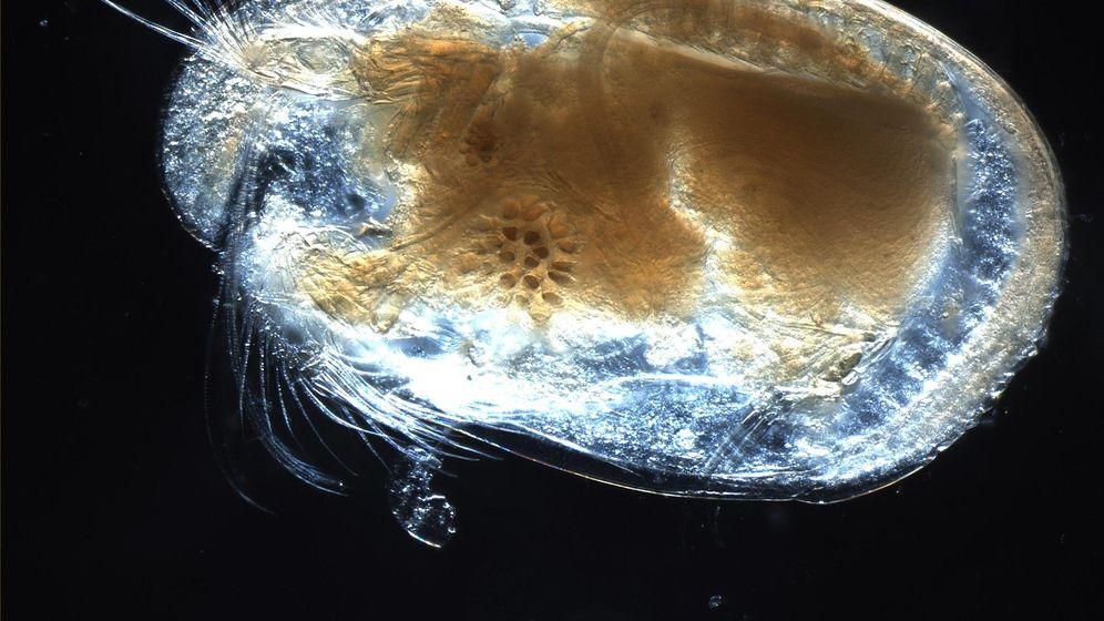 Foto: Los órganos sexuales de los ostrácodos ocupan un tercio de su cuerpo (CC)