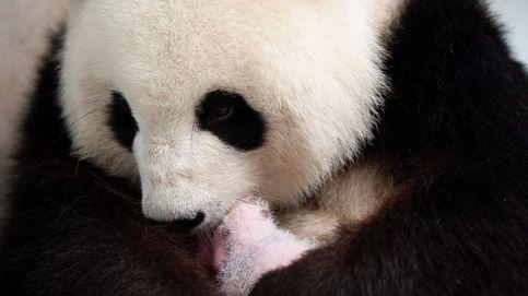 Nacen dos pandas en Berlín y un nuevo ciclón en EEUU: el día en fotos