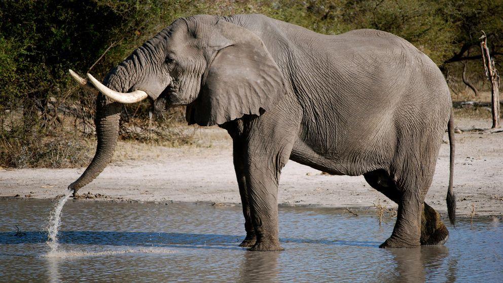 Descubren por qué los elefantes casi nunca desarrollan cáncer