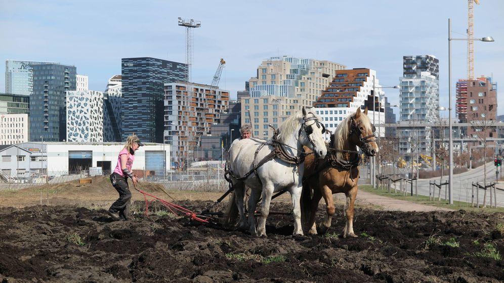 Foto: Dos vecinos de Oslo aran un huerto urbano frente a los rascacielos (Vibeke Hermanrud)