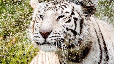 Mirando al ratón mientras tenemos un tigre a nuestras espaldas