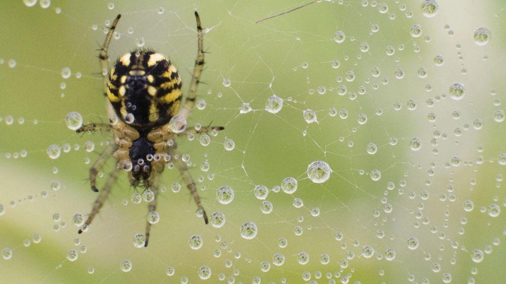Foto: Una araña posada sobre una telaraña cubierta de rocío