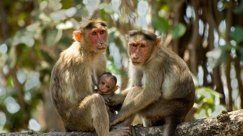 Científicos chinos han implantado genes humanos en el cerebro de los monos