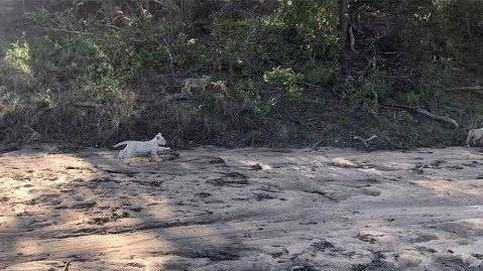 Hallan una especie rara de cachorro blanco de león en un parque de Sudáfrica