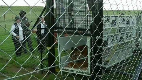 Salvan a 17 leones y tigres de varios circos en Guatemala en pésimas condiciones