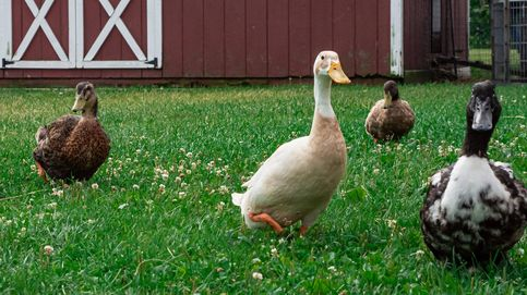 La EFSA emite la alarma de que este año la gripe aviar llega muy fuerte