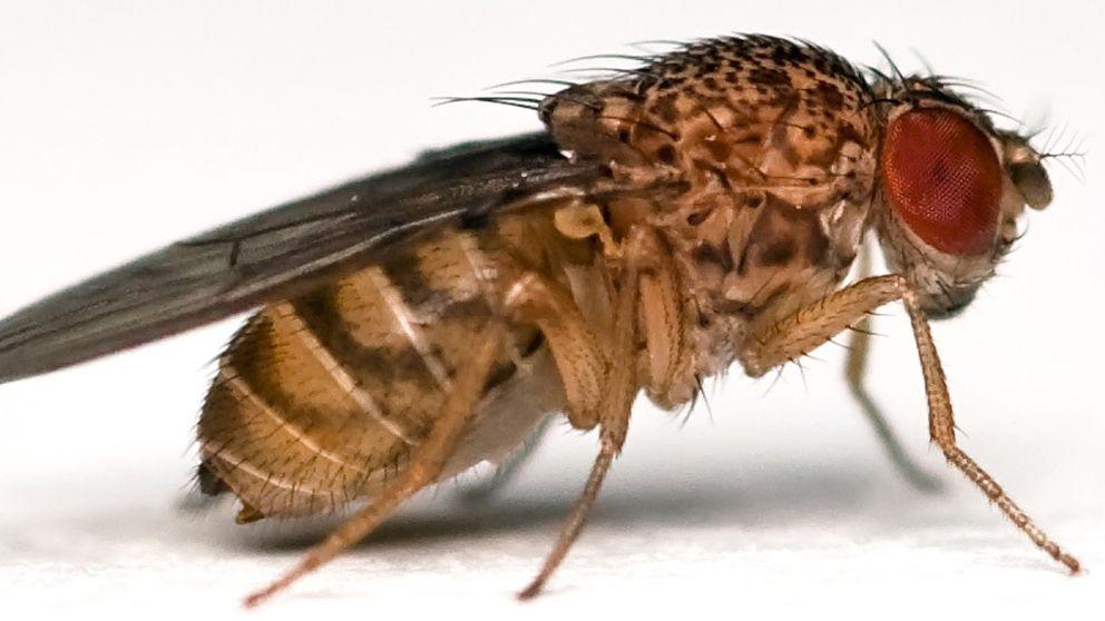 Cerebros de mosca para producir inteligencia artificial