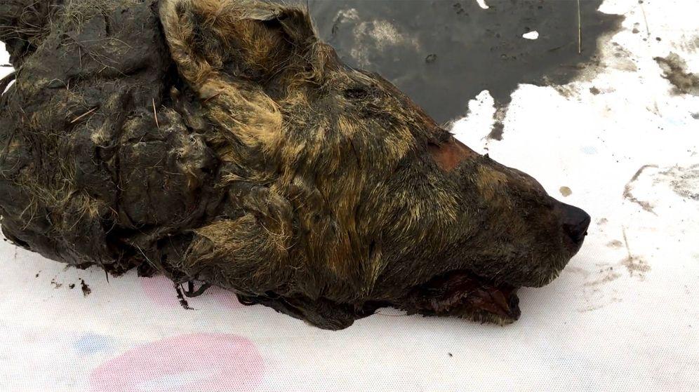 Foto: La cabeza del lobo de 40.000 años, mientras es analizada por los científicos (Foto: YouTube)
