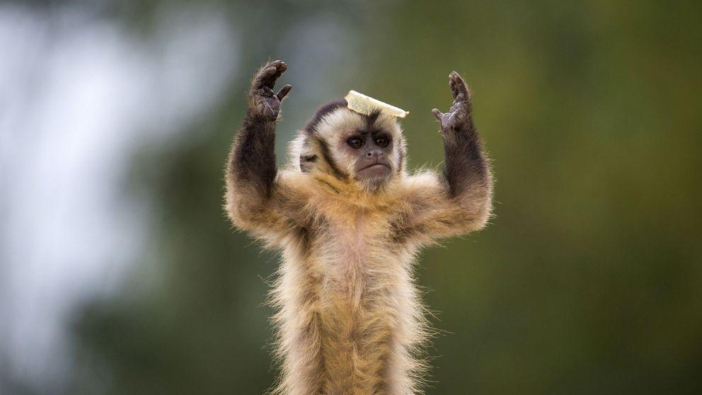 El mono: el protagonista del Año Nuevo chino