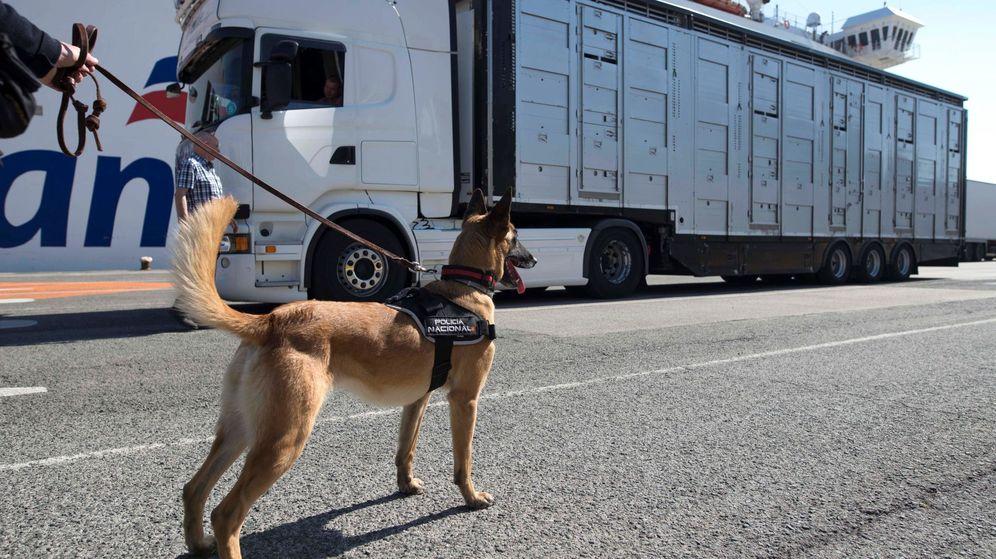 Foto: Un perro de la Policía Nacional en una inspección de camiones en el puerto de Santander. (EFE)