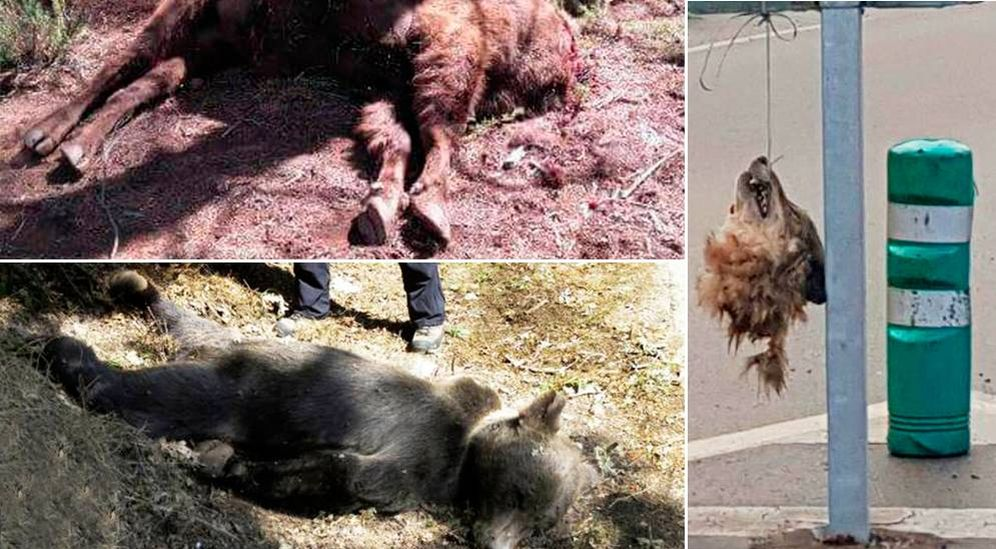 Foto: Bisontes y lobos decapitados y osos tiroteados recientemente en España.