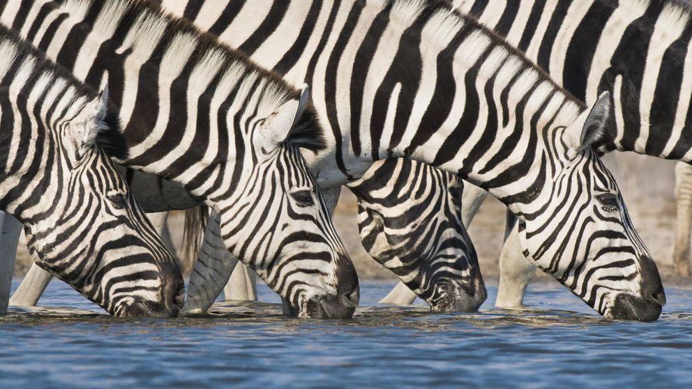 Las cebras... ¿son blancas con rayas negras o negras con rayas blancas?