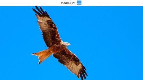 El ave que conquista a sus parejas haciendo acrobacias en el aire