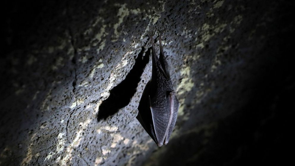 Cazadores de murciélagos, expertos que estudian cuevas para evitar pandemias